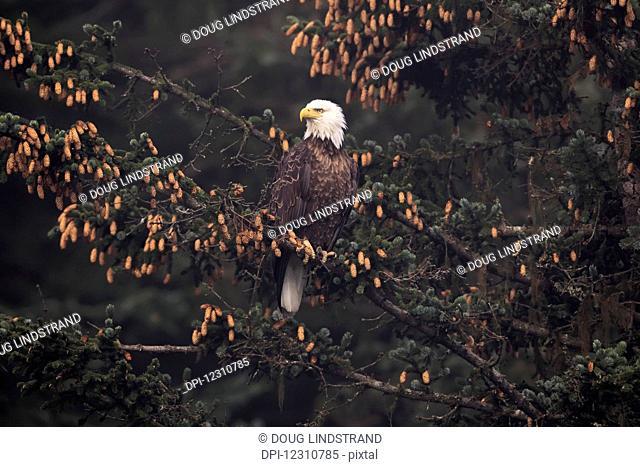 Bald eagle (Haliaeetus leucocephalus) perched in Sitka spruce tree, Southcentral Alaska; Alaska, United States of America