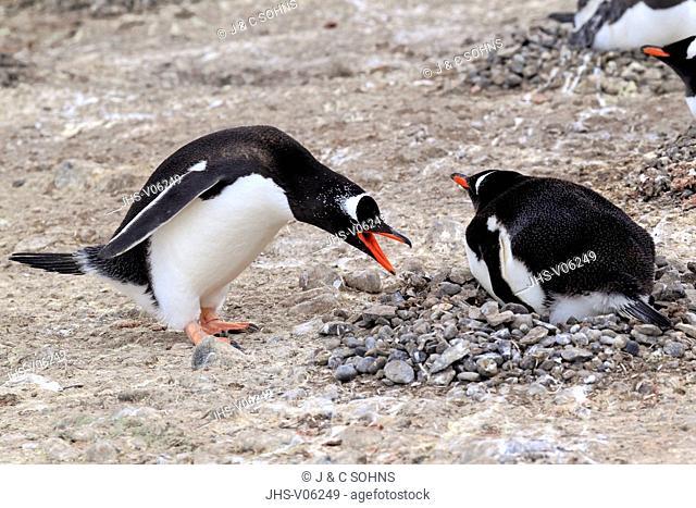 Gentoo Penguin, (Pygoscelis papua), Antarctica, Half Moon Island, adult couple