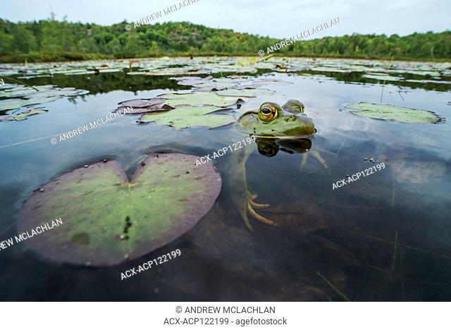 Bullfrog (Rana catesbeiana) on Horsehsoe Lake in Muskoka near Parry Sound, Ontario, Canada
