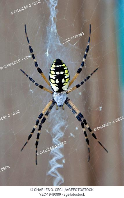 Argiope Spider, female, also known as Corn spider, writing spider, and black and yellow garden spider. North Carolina, Outer Banks, Carrituck Sound