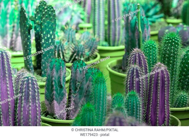 Abstract purple and green cactus plants in pots. Spring garden series, Mallorca, Spain