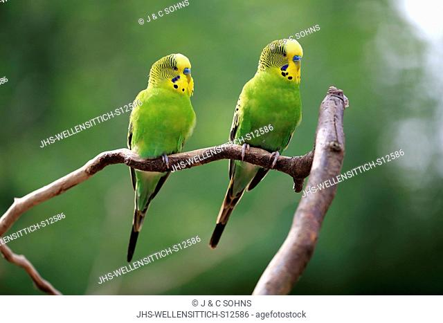 Budgerigar, (Melopsittacus undulatus), adult couple on branch, Australia
