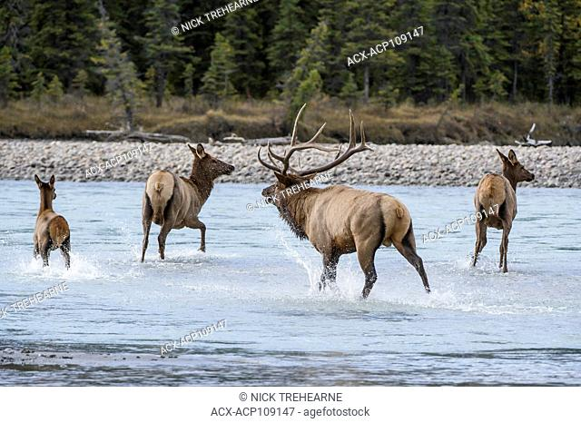 Male and Female Elk, Cervus canadensis nelsoni, Rocky Mountains, Alberta, Canada