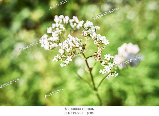 Flowering baldrian in a garden (close-up)