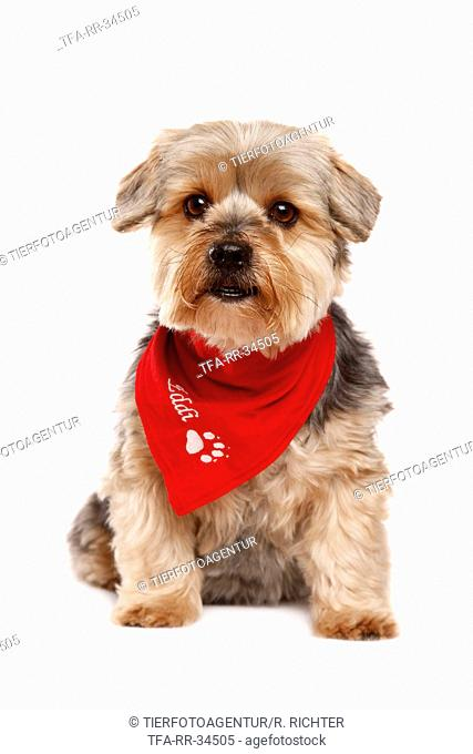 Yorkshire Terrier with scarf