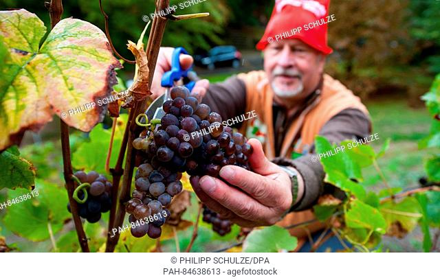 Fredrich Rabe, the so-called heater dwarf, harvests grapes on a vineyard in Hitzacker, Germany, 09 October 2016. Grapes were harvested around 70 centimetres...