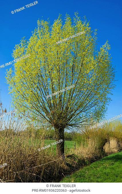 White Willow, Salix alba / Silver-Weide, Salix alba