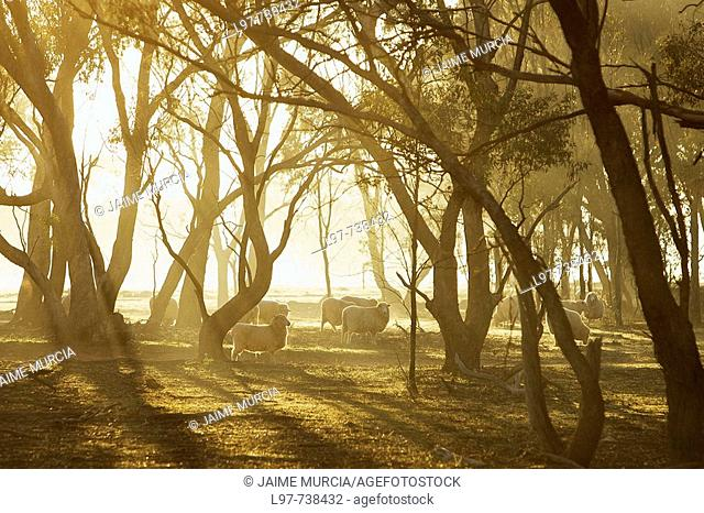 Early morning sheep, central Victoria, Australia