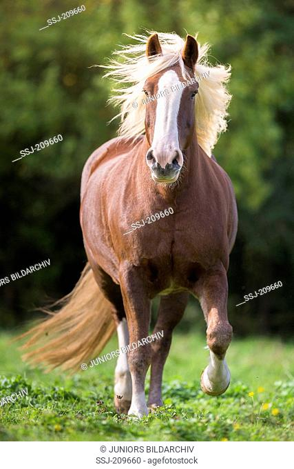 Black Forest Horse. Mare trotting on a pasture. Germany