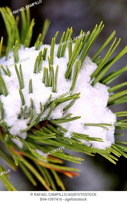 Snowcovered pine, La Molina ski resort, Cerdanya. Girona province, Catalonia, Spain