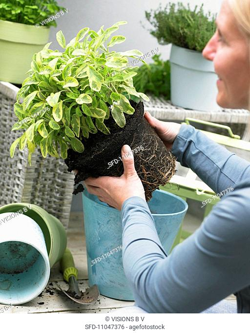 A woman planting sage in a pot