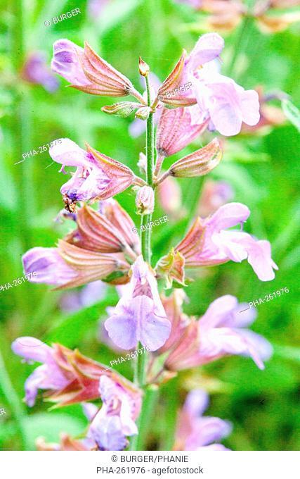SageSalvia officinalis