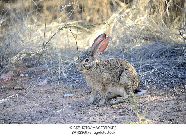 Cape hare (Lepus capensis), Etosha National Park, Namibia