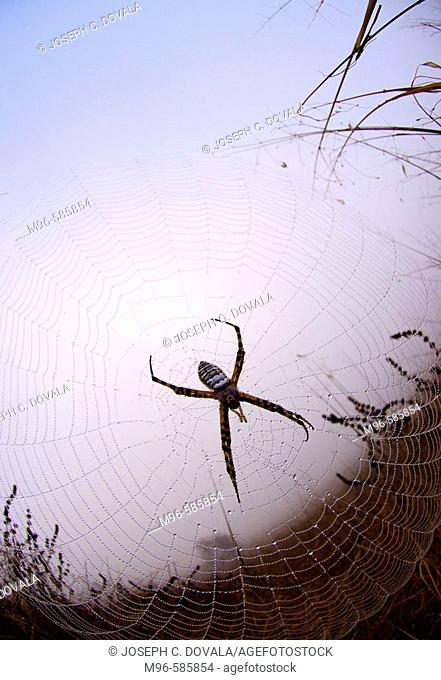 Field spider early in the morning