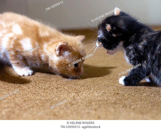 Three Week Old Kittens - Ginger & Tortoiseshell