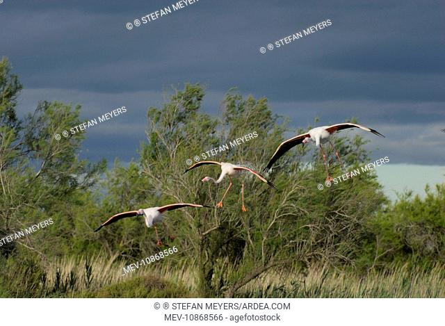 Greater Flamingo - group in flight - landing (Phoenicopterus ruber). Camargue - France