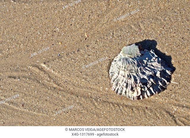 Oyster shell Ostrea edulis