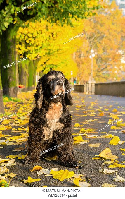 Dog sitting down on the walkway in autumn with yellow leaves in ticino switzerland