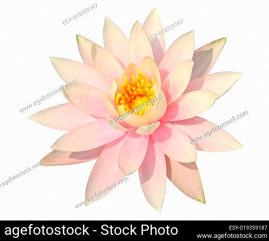 Water Lily on white – clipping path incl
