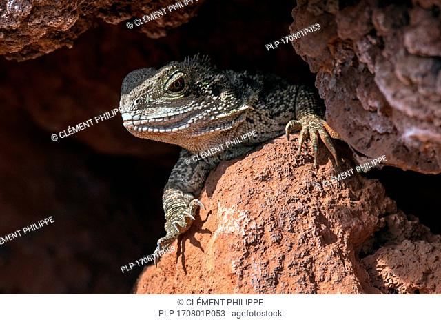 Australian water dragon (Intellagama lesueurii / Physignathus lesueurii) emerging from rock crevice, native to eastern Australia