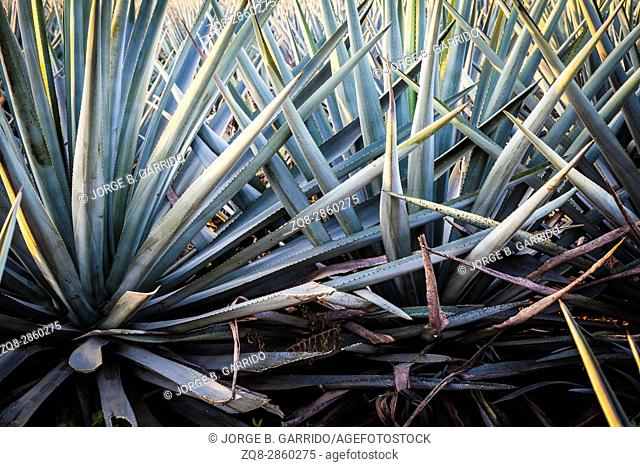Sunrise over Agave field, Tequila production, Jalisco, Mexico