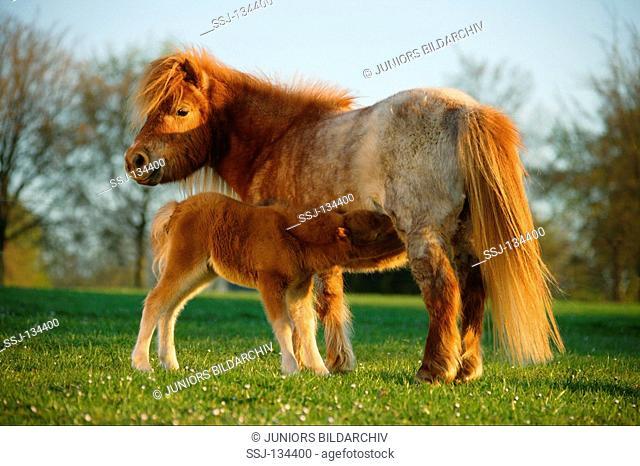Mini Shetlandpony suckling foal