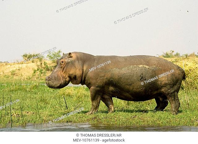 Hippopotamus - Bull on an island in the Zambezi River. Scattering dung in order to mark his territory. (Hippopotamus amphibius)