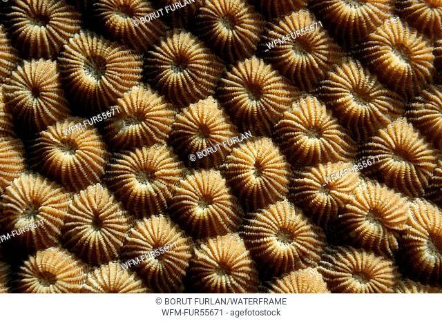 Polyps of Hard Coral, Diploastrea sp., Alor Archipelago, Indonesia