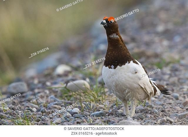 Willow Ptarmigan (Lagopus lagopus), adult male standing on the ground