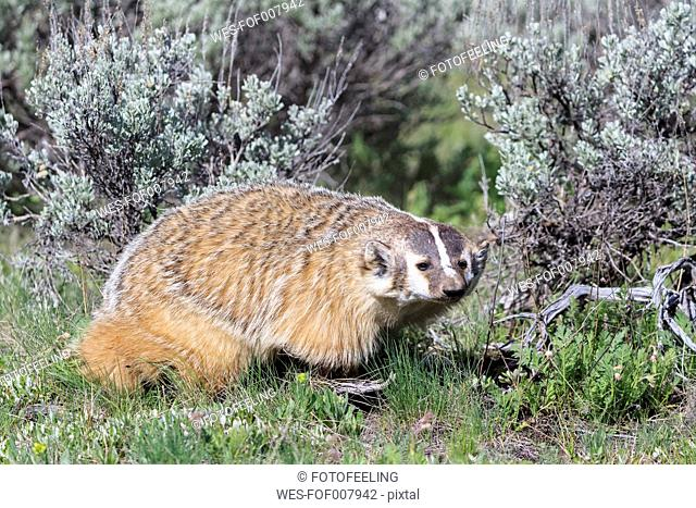 USA, Wyoming, Yellowstone Nationalpark, American badger
