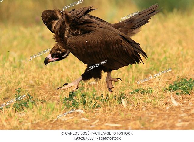 Cinereous vulture 'Aegypius monachus'. Parque Nacional de Monfrague, Extremadura, Spain