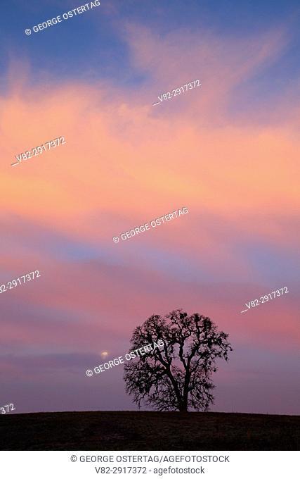 Oak dawn with moon, Ankeny National Wildlife Refuge, Oregon
