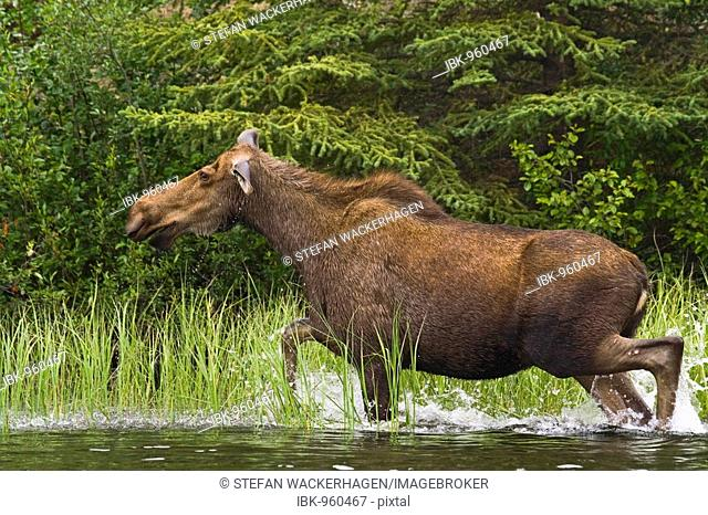 Cow Moose (Alces alces), running in shallow water, Big Salmon River, Yukon Territory, Canada, North America