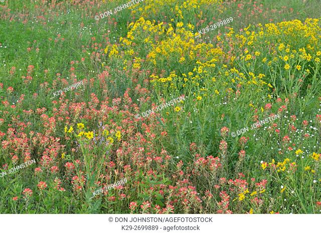 Texas wildflowers- Paintbrush and Englemann daisy, Blanco County, Texas, USA