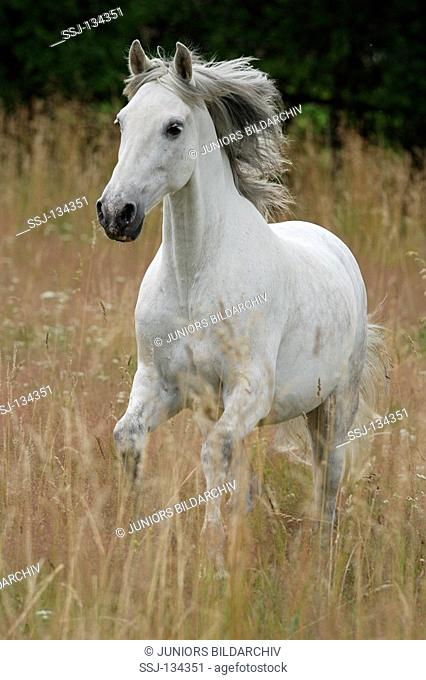 Pure Spanish-bred - on meadow