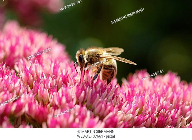 Honeybee on blossom of cauliflower mushroom