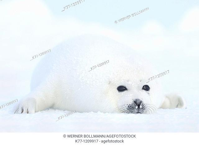 Harp Seal (Phoca groenlandica), pup, Magdalen Islands, Québec, Canada
