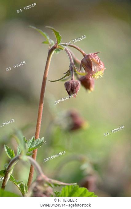 purple avens, water avens (Geum rivale), blooming, Germany, BG-MZ