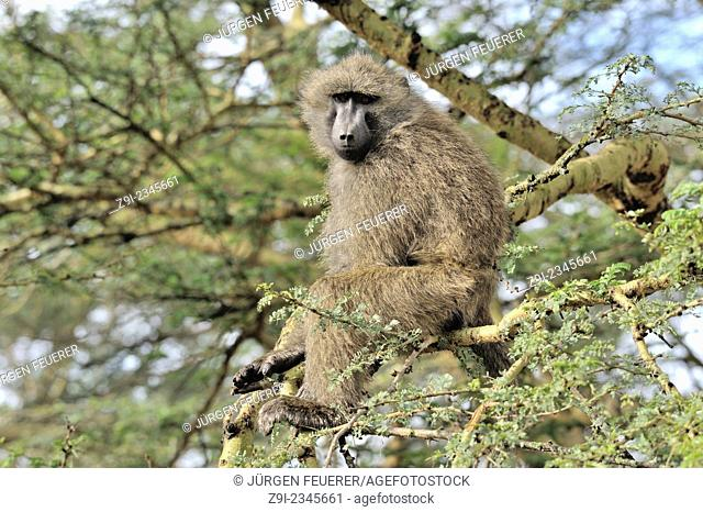 Monkey, Olive Baboon, Papio anubis, in Nakuru Reserve, Kenya
