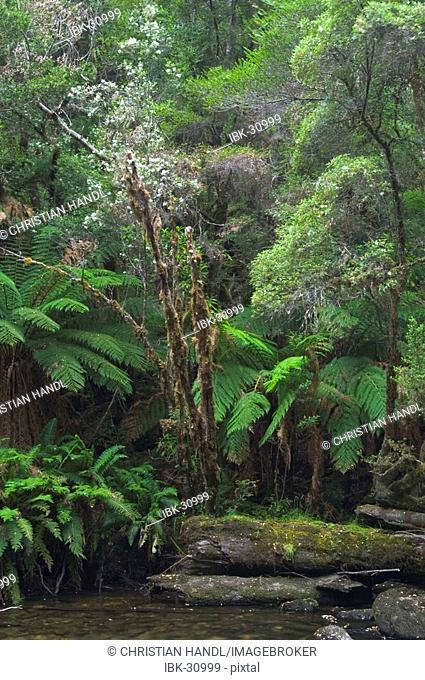 Rainforest at tributuary river to Franklin River in Franklin Gordon Wild Rivers National Park Tasmania Australia