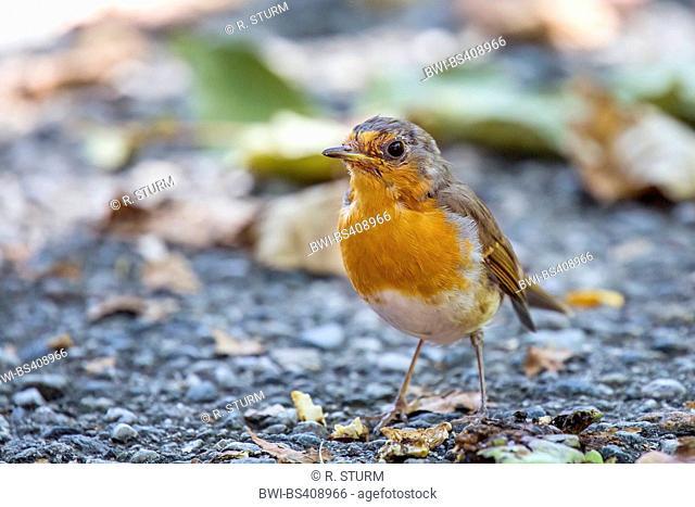 European robin (Erithacus rubecula), sits on stony ground, Austria, Tyrol