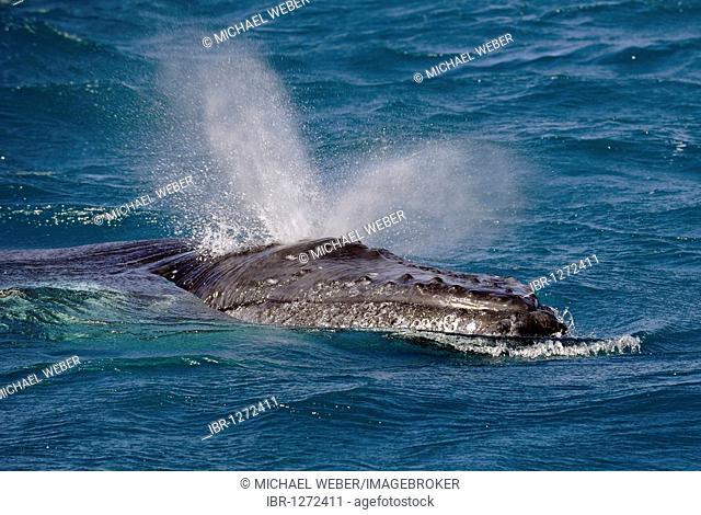 Spouting Humpback Whale (Megaptera novaeangliae), Hervey Bay, Queensland, Australia