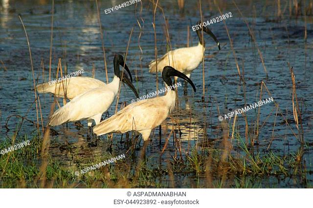 Flock of Black-headed Ibis eating/feeding themselves