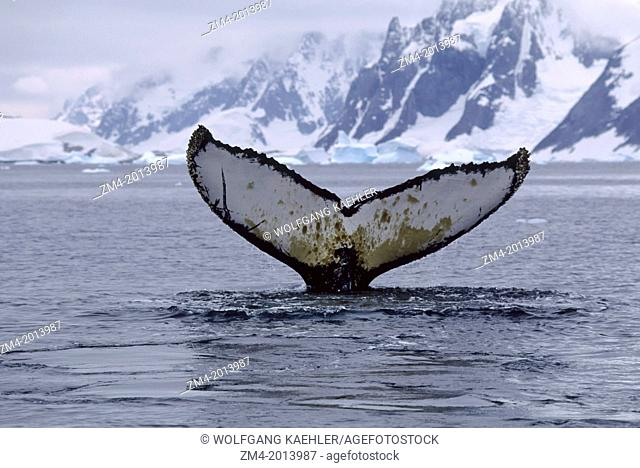 ANTARCTIC PENINSULA, ARGENTINE ISLANDS, HUMPBACK WHALE, DIVING SEQUENCE
