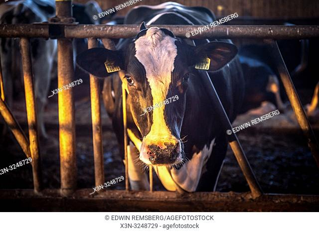 Holstein cow sticks its head through bars as warm sunlight shines across its face, Broniewo, Kuyavian-Pomeranian Voivodeship, Poland