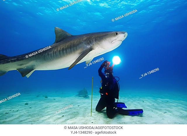 woman scuba diver photographing tiger shark, Galeocerdo cuvier, Grand Bahama, Bahamas, Caribbean Sea, Atlantic Ocean, : MR-000054