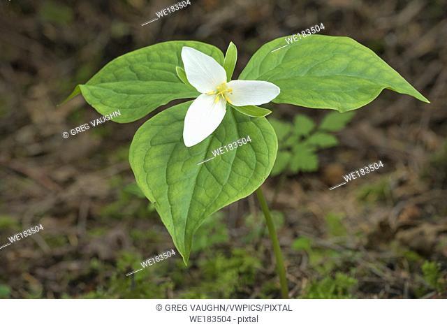 Western Trillium (Trillium ovatum); Elliott State Forest, Coast Range Mountains, Oregon