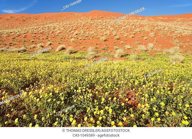 Namibia - Carpets of Devil's Thorn Tribulus zeyheri and sand dune during the rainy season March in the Namib Desert  NamibRand Nature Reserve, Namibia