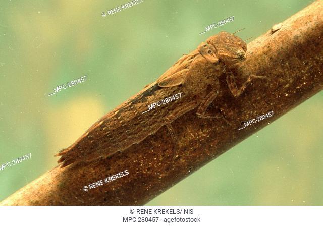 Larva of Hairy Dragonfly Brachytron pratense, clinging to branch underwater, western Europe