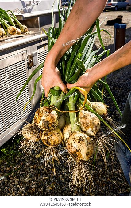Detail of woman holding recently harvested onions in a bunch, South-central Alaska; Palmer, Alaska, United States of America